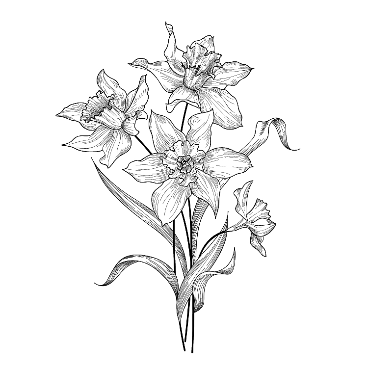 A black and white drawing of a bunch of daffodils