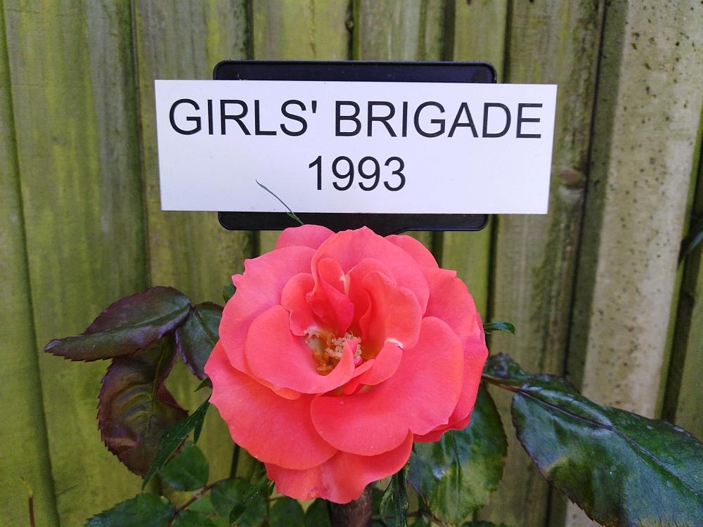 A Girls' Brigade centenary rose