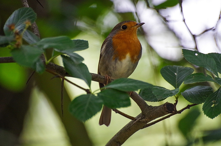 A robin sitting on branch in a tree