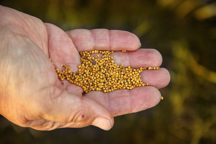 Mustard seeds held in the palm of a hand