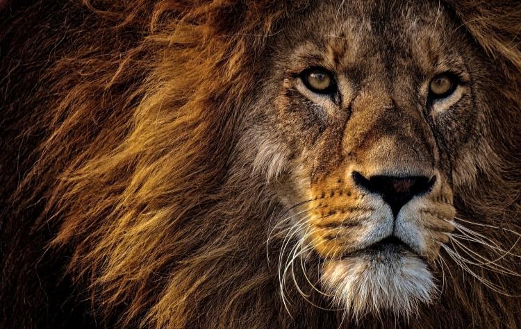 A close-up of a lion's face