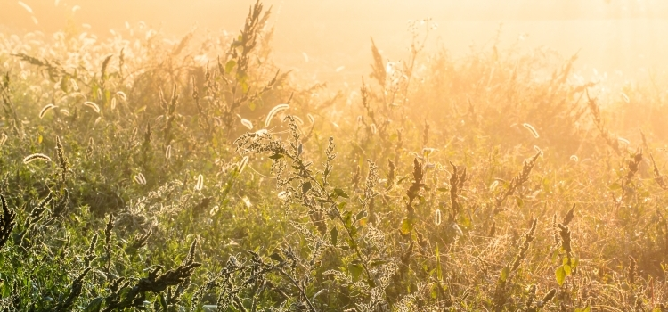Beautiful dew shine on a overgrown weed, herb, plant in a mystic fog on a fresh autumn dawn and mist full of bright sunlight as a fall season background