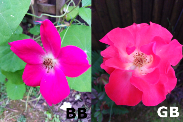 The Boys' Brigade centenary rose and the Girls' Brigade centenary rose